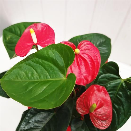 anthurium en planta de cerca