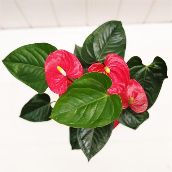 anthurium en planta desde arriba