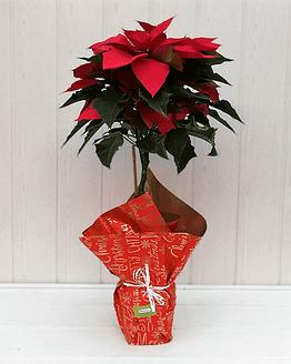 planta de navidad roja mediana (modo árbol) de frente