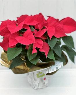 planta de navidad roja de frente