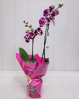 orquídea morada