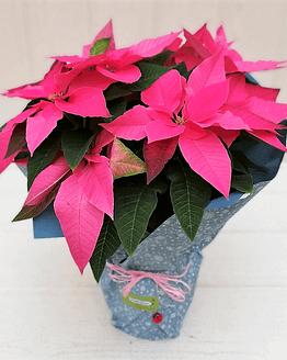 planta de navidad rosa de frente