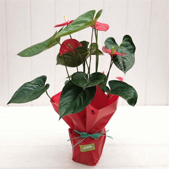 anthurium en planta de frente